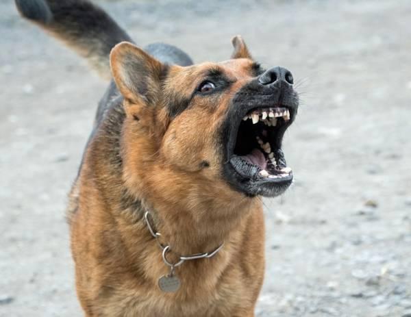 אילוף כלבים מסוכנים