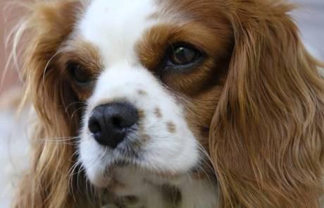ההיסטוריה של כלב קינג צ'רלס