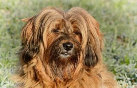 איך הכי טוב לאלף כלב טרייר טיבטי