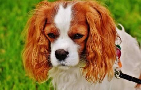 היכן לקנות כלבים מסוג קינג צארלס
