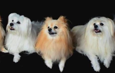 פומרניאן- כלב קטן עם אישיות גדולה